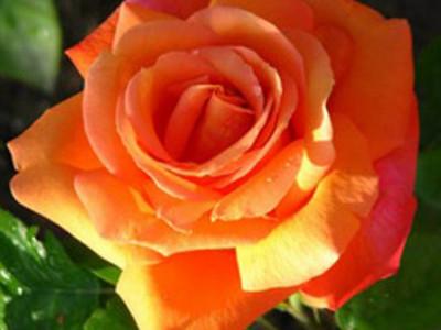 Роза Оранжевая Магия саженец купить в Москве