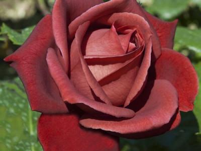 Роза Терракота саженец купить в Москве