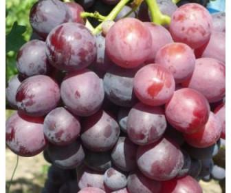 Виноград Кардинал Люкс