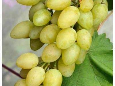 Виноград Мускат летний саженец купить в Москве