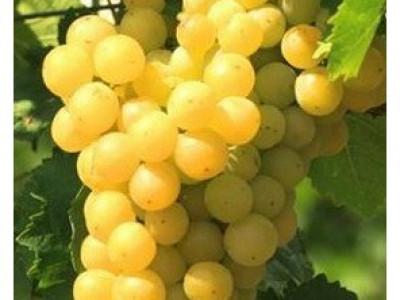 Виноград Мускат янтарный саженец купить в Москве