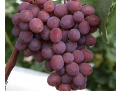 Виноград Виктория саженец купить в Москве