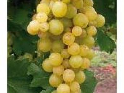 Виноград Янтарный саженец купить в Москве