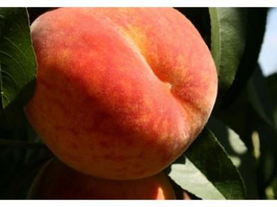 Персик колоновидный Медовый саженец купить в Москве