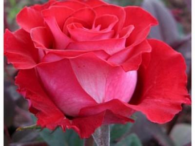Роза Альянс саженец купить в Москве