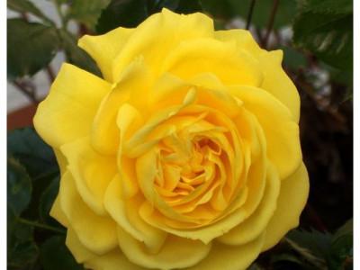 Роза Фрезия  саженец купить в Москве