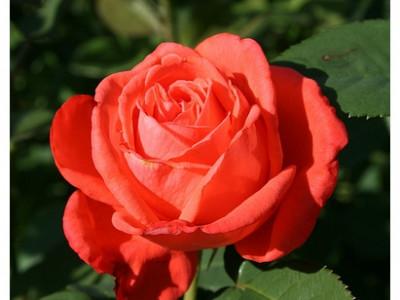 Роза Тропикана саженец купить в Москве