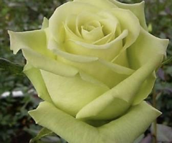 Роза Амандина