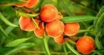 Саженцы персика
