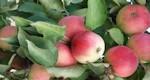 Яблоня крупномер