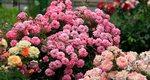 Розы миниатюрные