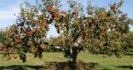 Саженцы плодовых крупномеров