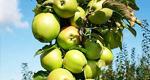 Яблони колонновидные